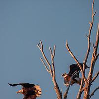 Bald Eagles (Haliaeetus leucocephalus) take flight from a dead tree in Montana's Gallatin Valley near Bozeman.