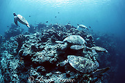 green sea turtles, Chelonia mydas, jockey for position at a cleaning station, competing for the services of parasite-removing cleaner fish Sipadan Island, off Borneo, Sabah, Malaysia ( Celebes Sea / Western Pacific Ocean )