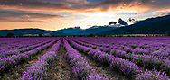 Amazing landscape of lavender field with violet rows at sunset