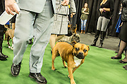 New York, NY - 16 February 2016. An eager dog and his handler about to enter the ring  at the 140th Westminster Kennel Club Dog show in Madison Square Garden.
