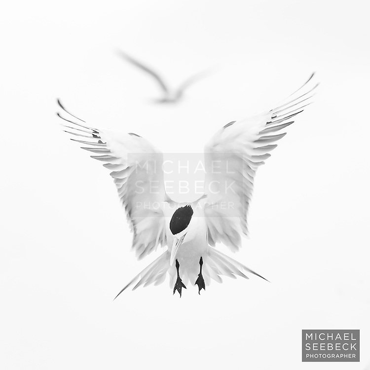 A greater crested tern flying over a tern rookery at Layang Layang in the South China Sea, to the north of Sabah, Borneo.