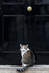 November 20, 2018 - London, United Kingdom - Larry, the cat and Chief Mouser to the Cabinet Office is seen seated on the steps at No 10 Downing Street just before the Cabinet Ministers start arriving to attend the weekly Cabinet meeting. (Credit Image: © Dinendra Haria/SOPA Images via ZUMA Wire)