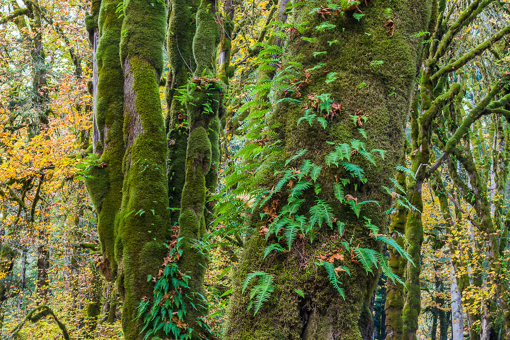 Bigleaf maple trees (Acer macrophyllum) and licorice ferns, October, Whiskey Bend Road, Olympic National Park, WA, USA