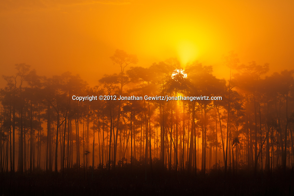 The sun rises behind a pine hammock on a foggy morning in Everglades National Park, Florida. WATERMARKS WILL NOT APPEAR ON PRINTS OR LICENSED IMAGES.<br /> <br /> Licensing: https://tandemstock.com/assets/10929822