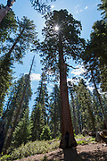 View of Sequoia National Park, General Sherman Grove, Tulare County, California, USA.