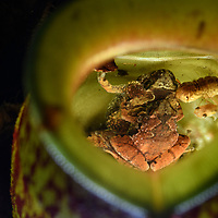 World within: the watery chamber of a carnivorous pitcher plant (Nepenthes ampullaria) hosts a myriad of tiny specialized creatures. An amplexing pair of the Matang Narrow-mouthed Frog (Microhyla nepenthicola), one of the world's smallest amphibians, has visited the plant to deposit their eggs – they will breed nowhere else. They are flanked by a developing tadpole and the pupa of a predatory Elephant Mosquito (Toxorhynchites sp.). The plant benefits from everything entering the pitcher: detritus falling from the canopy above, insect prey that are drowned inside, or small visiting organisms like these that may help to break down the contents and leave their waste behind. Kubah National Park, Sarawak, Malaysia (Borneo).