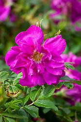 Rosa 'Roseraie de l'Hay' AGM