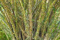 Ocotillo (Fouquieria splendens) in the Anza Borrego Desert of southern California, USA
