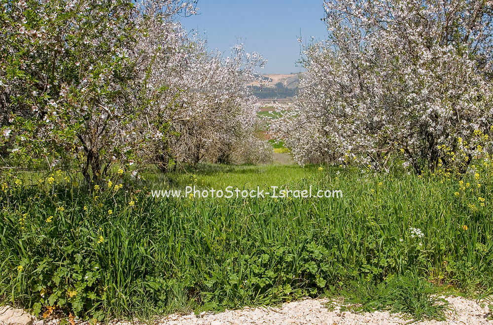 A plantation of blooming almond trees. Photographed in Israel in March