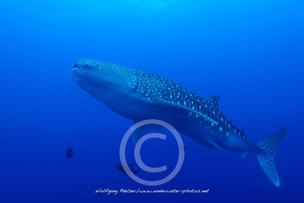 Rhincodon typus, Walhai, Whale shark, Insel Cocos, Costa Rica, Pazifik, Pazifischer Ozean, Cocos Island, Costa Rica, Pacific Ocean