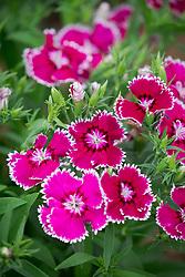 Dianthus barbatus 'Festival Violet Picotee' (Festival Series). Sweet William