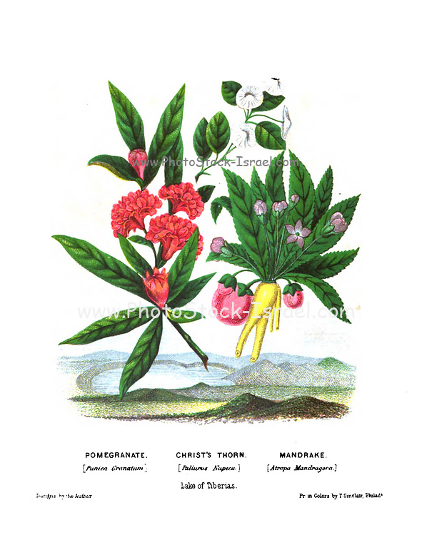 Pomegranate (Punica granatum), Christ's Thorn (Paliurus spina-christi, commonly known as Jerusalem thorn, garland thorn, or crown of thorns) and Mandrake (Mandragora officinarum Here as Atropa Mandragora). from Plants Of The Holy Land: With Their Fruits And Flowers, Beautifully Illustrated By Original Drawings, Colored From Nature by Rev. Osborn, H. S. (Henry Stafford), 1823-1894 Published in Philadelphia, By J.B. Lippincott & Co. in 1861