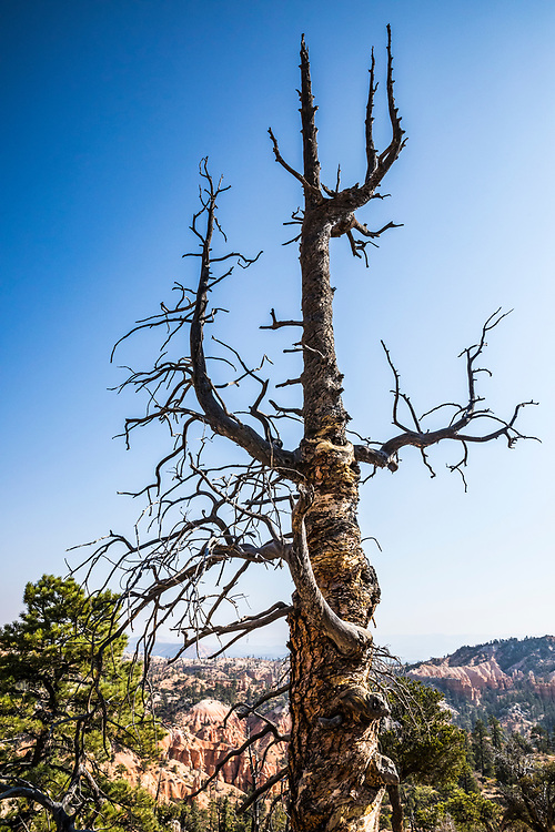An old dead and twisted tree along the Fairyland Loop Trail, Bryce Canyon National Park, Utah, USA.