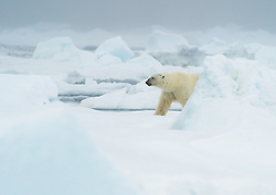 polar bear (Ursus maritimus) on drifting sea ice in northeastern parts of Svalbard, Norway