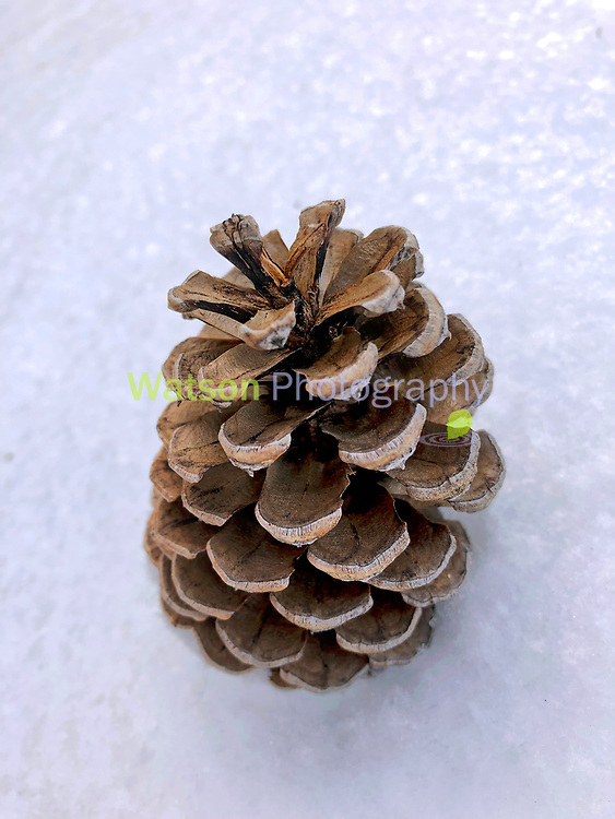 Interview With the Pine Cone