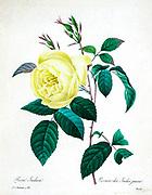 19th-century hand painted Engraving illustration of a yellow rose (Rosa Indica) flower, by Pierre-Joseph Redoute. Published in Choix Des Plus Belles Fleurs, Paris (1827). by Redouté, Pierre Joseph, 1759-1840.; Chapuis, Jean Baptiste.; Ernest Panckoucke.; Langois, Dr.; Bessin, R.; Victor, fl. ca. 1820-1850.