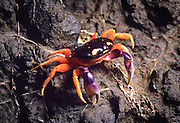 A mouthless crab (Gecarcinus quadratus) at night on the coast of Cosat Rica, Central America