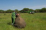 White Rhinoceros (Ceratotherium simum) immobilized & Kester Vickery of Conservation Solutions who will relocate the animal.<br /> Private Game Reserve<br /> SOUTH AFRICA<br /> RANGE: Southern & East Africa<br /> ENDANGERED SPECIES