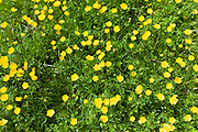 Buttercups wildflowers, Ranunculus, in meadow at Swinbrook in the Cotswolds, Oxfordshire, UK