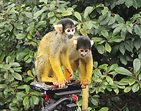 Bolivian Squirrel Monkey, ZSL London Zoo Annual Stocktake 2015, Regents Park, London UK, 05 January 2015, Photo By Brett D. Cove
