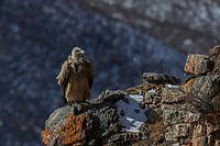 Himalayan griffon vulture, Gyps himalayensis, sitting in mountain landscape China, Sichuan Province, Garze Prefecture, Serxu County.
