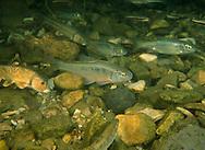 Common Shiner<br /> <br /> Garold Sneegas/Engbretson Underwater Photography