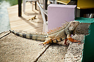 A large green iguana poses on the water's edge at Mamacita's on Culebra.