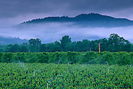 Stormy spring morning over vineyard, East Side Road, near Ukiah, Mendocino County, California