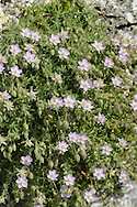 Rock Sea-spurrey - Spergularia rupicola (Caryophyllaceae) Height to 20cm. Stickily hairy perennial, often with purplish stems. Found on cliffs and rocky places near the sea. Sometimes forms clumps with woody bases. FLOWERS are pink, 5-petalled (petals and sepals equal) and 8-10mm across (Jun-Sep). FRUITS are capsules. LEAVES are narrow, flattened and fleshy; borne in whorls. STATUS-Locally common in W.