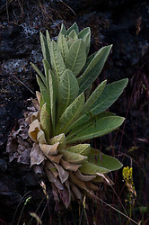 Plant, Jones Island, San Juan Islands, Washington, US