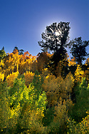 Backlit aspen trees in fall along the South Fork of Bishop Creek, Inyo National Forest, Eastern Sierra, California