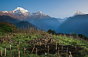 """On the left is Annapurna South (23,684 feet / 7219 meters), above a corn field at Ghandruk village (or Ghandrung, 6530 feet), in the Annapurna Range of Nepal. On the right is Machhapuchhare (or Machhapuchhre), the Fish Tail Mountain (22,943 feet / 6997 meters elevation) a sacred peak, illegal to climb. Annapurna South (also known as Annapurna Dakshin, or Moditse) was first climbed in 1964 by a Japanese expedition, via the North Ridge. Annapurna is Sanskrit for """"Goddess of the Harvests."""" In Hinduism, Annapurna is a goddess of fertility and agriculture and an avatar of Durga. The panorama was stitched from 2 overlapping photos."""