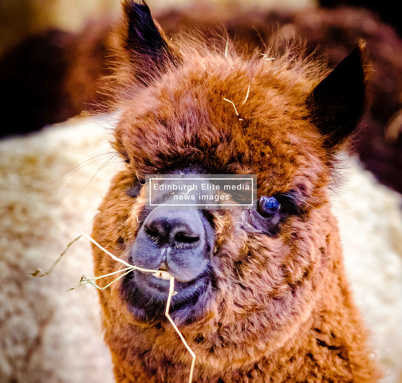 Lanark Scotland 15th April 2017:  The Second Scottish Alpaca Championship, organised by the Scottish Alpaca Group, took place on Saturday 15th April 2017 at Lanark Auction Market. The event had a record entry of 140 alpacas being shown and judged.<br /> An Alpaca in a holding pen waiting to go into the show ring.<br /> <br /> <br /> (c) Andrew Wilson | Edinburgh Elite media