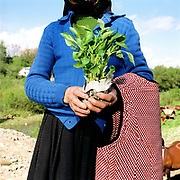 A subsistence farmer holds sweet pepper seedlings wrapped in newspaper purchased from Bogdan Voda market, Maramures, Romania