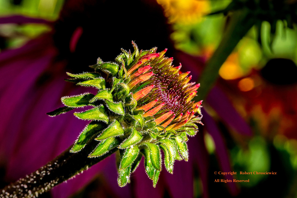 Budding Echinacea: A budding Echinacea flower is captured in fine detail on a fine sun filled summer morning, Minter Gardens in Rosedale, British Columbia Canada.