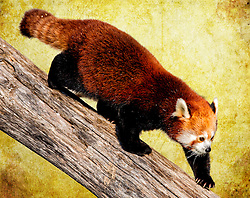 """The red panda, is a small arboreal mammal native to the eastern Himalayas and southwestern China and related to raccoons, skunks and weasels. It is the only extant species of the genus Ailurus and the family Ailuridae.<br /> <br /> The red panda is a cousin of the raccoon, while the more famous giant panda is more closely related to bears. These engaging animals make their home in mountain forests and bamboo thickets, where they live in small groups or alone. They are active mainly at night and spend their days sleeping in trees, out of the reach of most predators. Red pandas are primarily vegetarians, with bamboo shoots a favorite food, but they also eat small animals.<br /> <br /> The number of wild red pandas is declining as their bamboo forests are cleared for human development.<br /> <br /> Did You Know That The extra """"thumb"""" on a red panda's front paws is a modified wrist bone that allows the animal to easily grasp bamboo."""