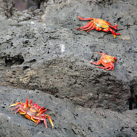 South America, Ecuador, Galapagos Islands, Bartholomew Island. Sally Lightfoot Crabs on the rocks.