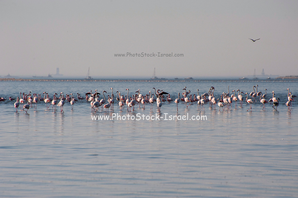 Flock of Lesser Flamingoes (Phoeniconaias minor) in Walvis Bay, Namibia