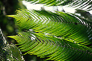 Tree fern, Hawaii<br />