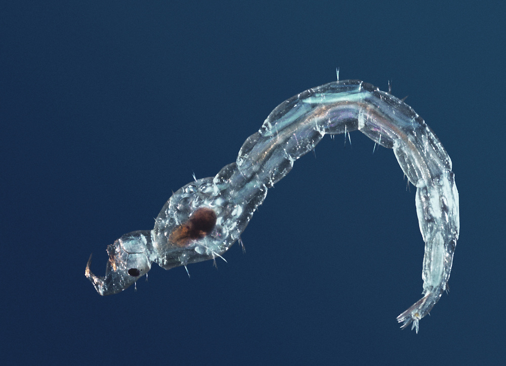 Glassworm or Phantom Midge Larvae - Chaoborus