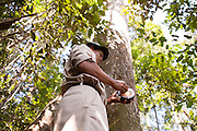 A local staff member measures the diameter of a timber tree (Shorea laevis) at the Arsari Lestari conservation forest in Penajam Paser Utara district, East Kalimantan, Indonesia, on March 12, 2016. The plan for the Arsari Lestari conservation area is to preserve the virgin rainforest while creating value for ICTI and local people in a production-protection system that reduces emissions. <br /> (Photo: Rodrigo Ordonez)