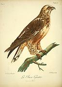 La Buse Gantee Bird of Prey from the Book Histoire naturelle des oiseaux d'Afrique [Natural History of birds of Africa] by Le Vaillant, François, 1753-1824; Publish in Paris by Chez J.J. Fuchs, libraire .1799
