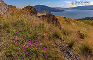 Shooting star wildflowers in spring on  Wild Horse Island State Park, Montana, USA