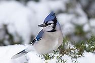 01288-05903 Blue Jay (Cyanocitta cristata) in Juniper Tree in winter Marion Co. IL