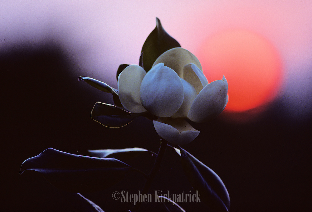 Magnolia bloom at sunrise - Mississippi.