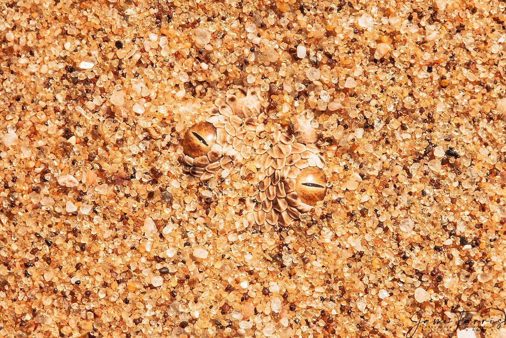 With only the eyes showing in the granules of sand, a Peringuey's sidewinding adder (Bitis peringueyi) is camouflaged in the desert sand of Namibia's Skeleton Coast  , Skeleton Coast, Namibia,Africa