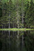 Old and half dead spruce tree (Picea abies) growing on side of small and dark lake in forests. Kurzeme, Latvia Ⓒ Davis Ulands   davisulands.com