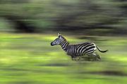running zebra, Serengeti National Park, Tanzania