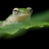 White-eared Tree Frog (Feihyla kajau), male. Sarawak, Malaysia (Borneo).