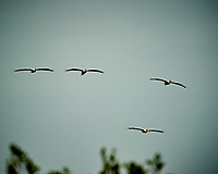 Four American White Pelicans in flight. Biolab Road, Merritt Island National Wildlife Refuge. Image taken with a Nikon D3s camera and  70-200 mm f/2.8G VRII lens and TC-E 2.0 III teleconverter (ISO 200, 400 mm, f/5.6, 1/250 sec).